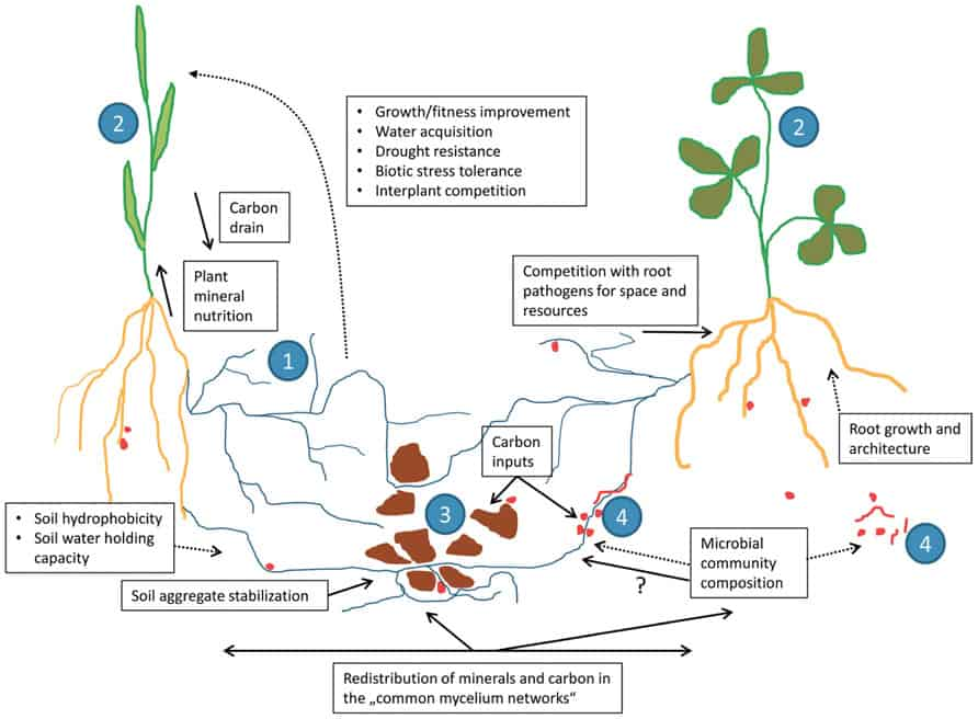 Miracle of Mycorrhizal Pathways